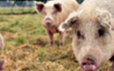Aujeszky: el Senasa impulsa la certificación de los establecimientos porcinos con más de 100 madres