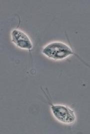 180px-Tritrichomonas01