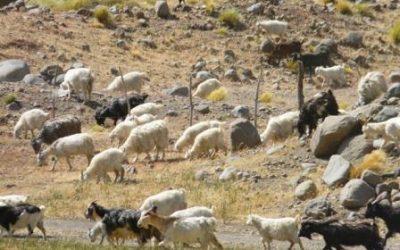 Menos casos de Brucelosis caprina en humanos en Mendoza y San Juan