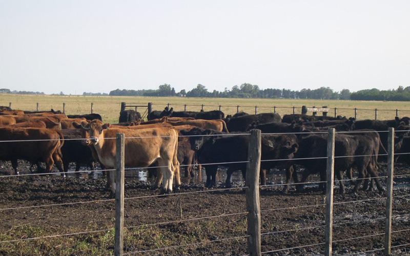 Golpe de calor en bovinos: cúales son los síntomas