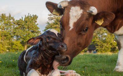Leptospirosis: Los rodeos de cría están más expuestos a sufrir trastornos reproductivos que los de leche.
