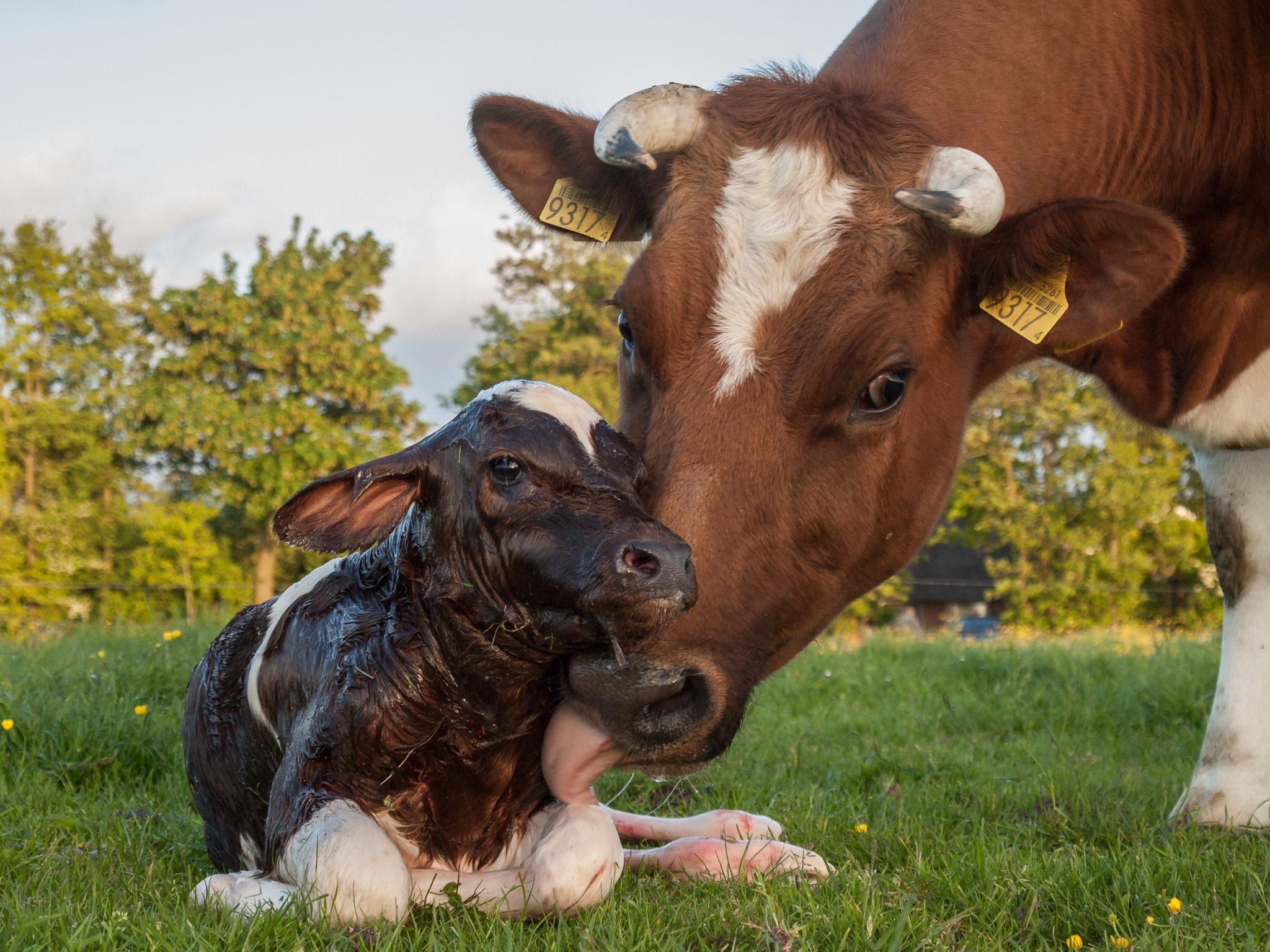 leptoposrosis bovina